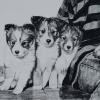 My Sheltie Puppies, Charcoal, 16x20""